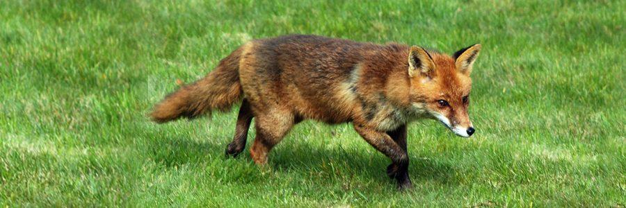 Un renard dans le jardin ! Que faire ?